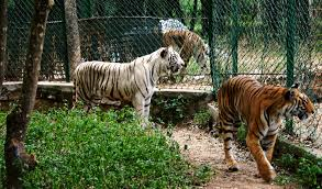 Zookeeper Mauled To Death By Tigers