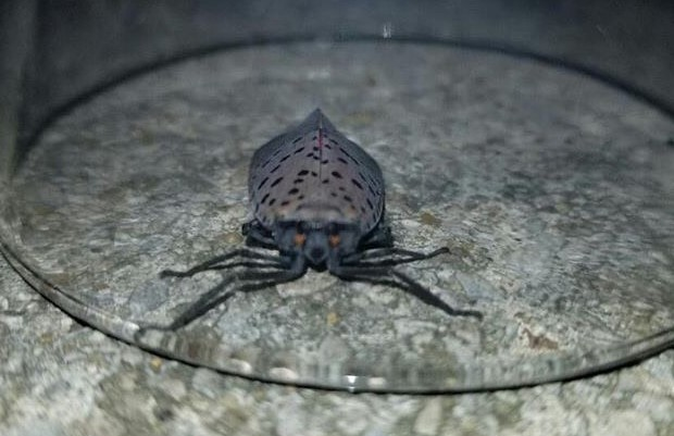 Spotted Lanternflies a Possible Threat to Norristown
